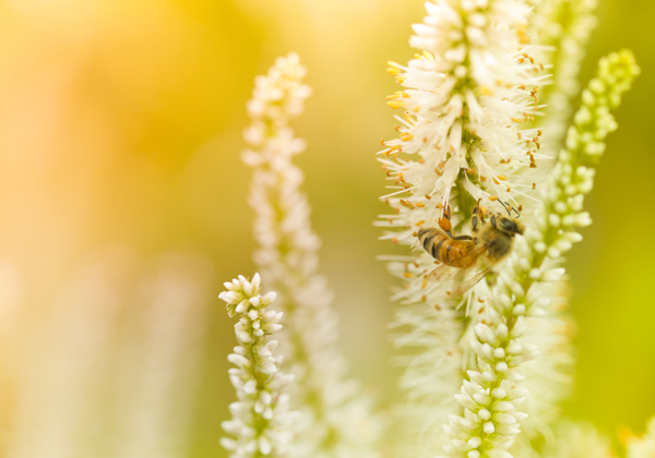 Honungsakademin, Svensk Honungsförädling